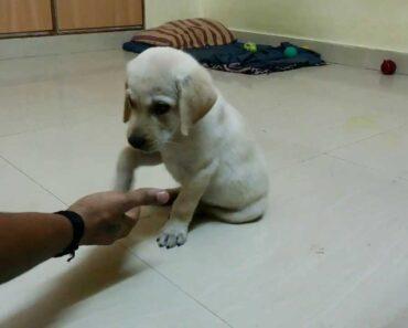 Labrador(Ellie) 8 weeks old basic command training