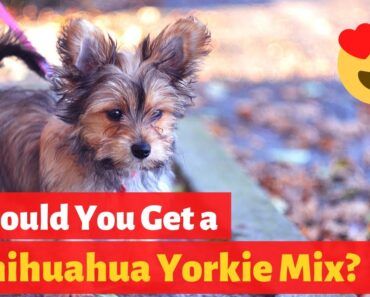 All About the Sweet and Sassy Chihuahua Yorkie mix (Chorkie)