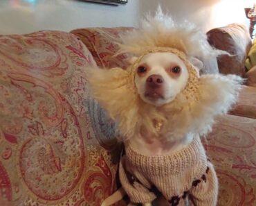 Otis the very Naughty Chihuahua