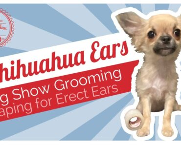 Dog Show Grooming: How To Tape Chihuahua Ears