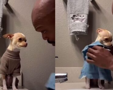 Dog Dad Tenderly Washes The Chihuahua Dog He Didn't Want