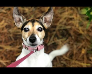 Cute Jack Russell Chihuahua Mix Video Compilation