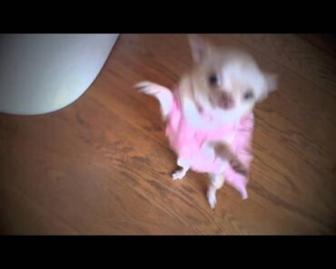 very funny chihuahua dancing salsa in dress !!!!