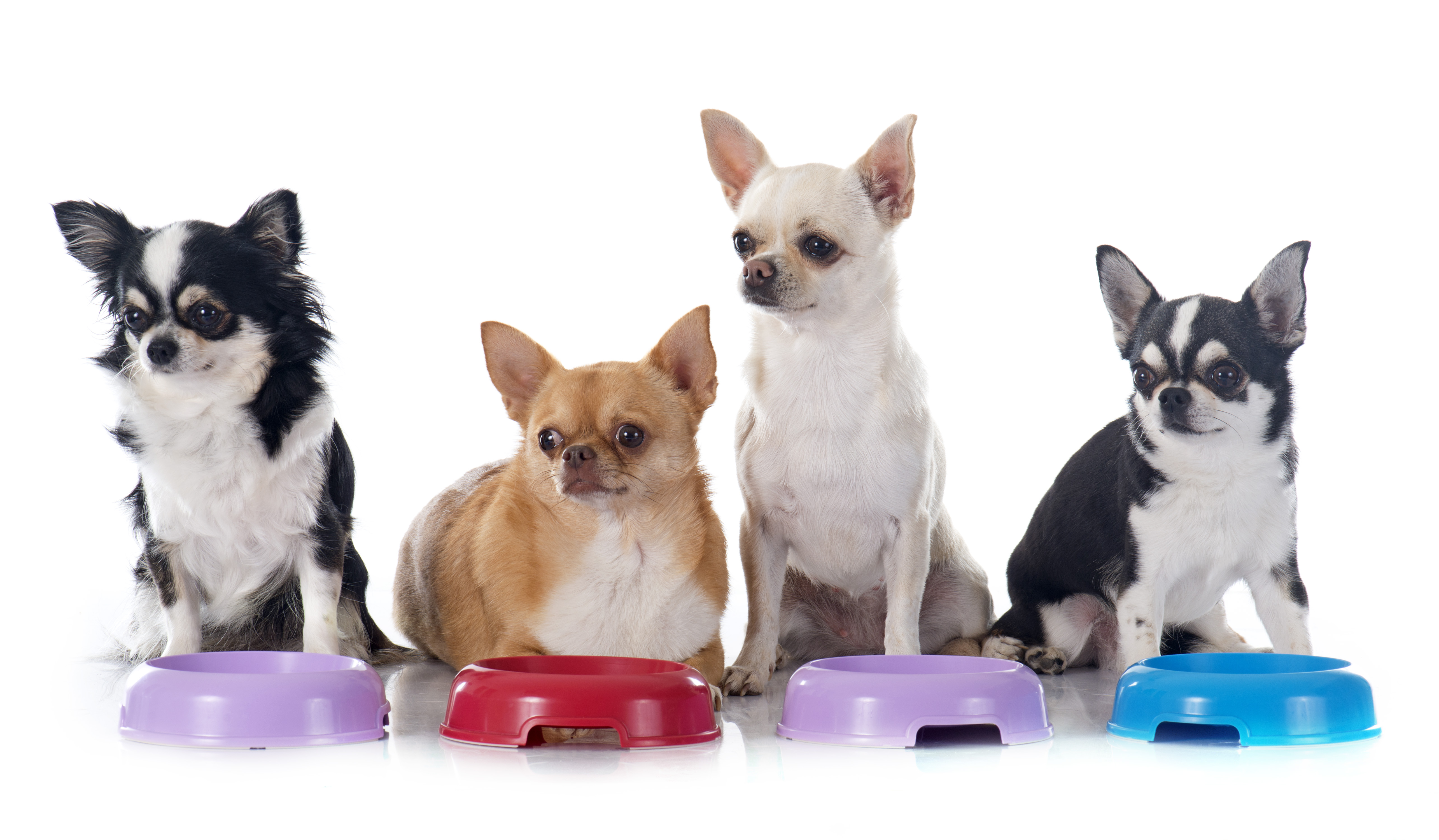 Top Dog Food Brands For Chihuahuas Or Small Dogs