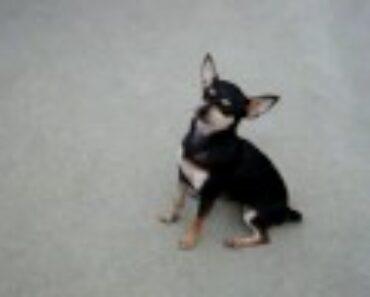 Chihuahua doing 15 tricks