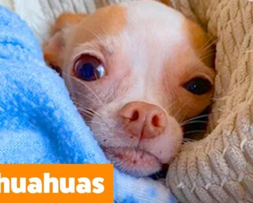 Cutest Silly Chihuahuas