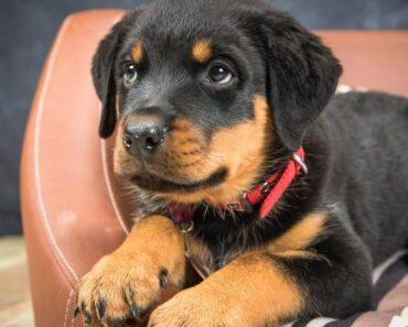 Tiny – Rottweiler Puppy