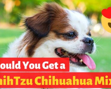 Interesting Facts about the Adorable Shih Tzu Chihuahua Mix (Shichi)