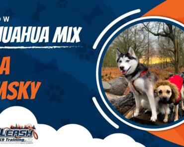 Willow (Chihuahua mix) & Nala (Pomsky)