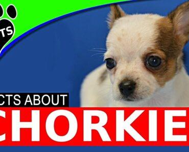 Chorkie Designer Dogs 101