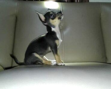 Chihuahua Training at 12 Week Old