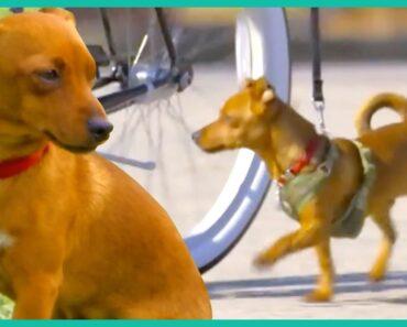 Teaching A Chihuahua Mix Leash Discipline