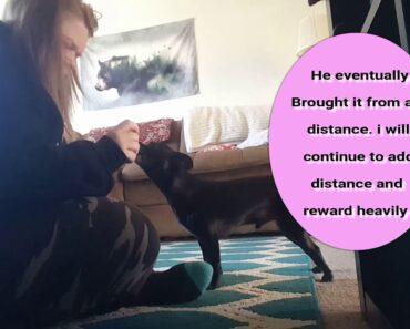 Chihuahua Service Dog Training