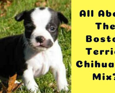 What to Expect of A Boston Terrier Chihuahua Mix?