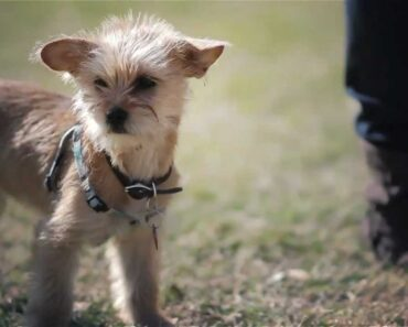 Chihuahua-Terrier Puppy Stands Out in a Crowd