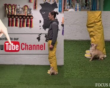 Chihuahua Obedience. Heel-position Changes.