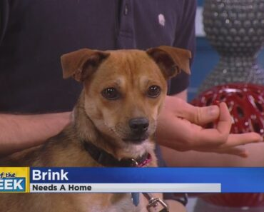 Brink The Chihuahua Mix Is Our Pet Of The Week
