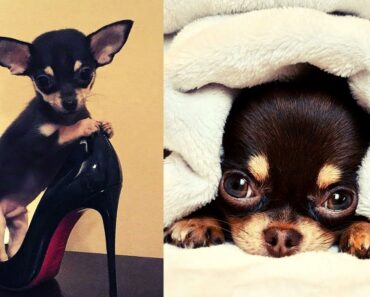 Viral Chihuahua Funny and Crazy Moments That You Must Amaze