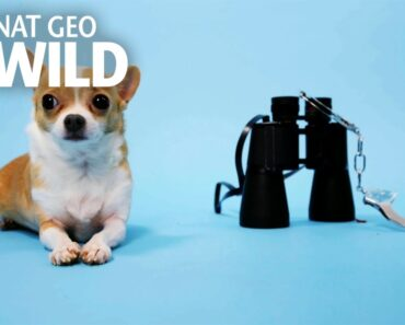 The Unique Adaptations of Chihuahuas