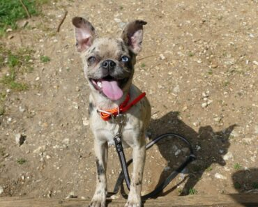 Pearl – 6 Month Old Pug x Chihuahua