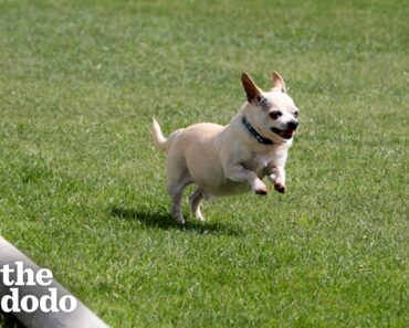 Senior Chihuahua Turns Into A Puppy Once He Finds The