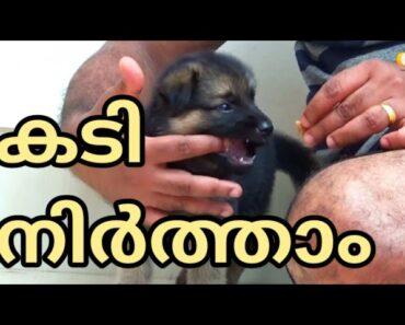 """STOP BITING"" : German shepherd puppy : LAZE MEDIA :"