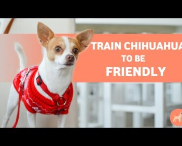 How To Train Your Chihuahua Dog to Be Friendly