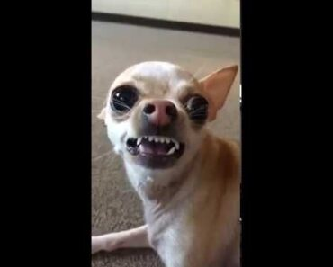 Funny mean Chihuahua eating chips