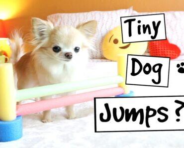CUTE PUPPY sized chihuahua TINY AGILITY JUMPS training