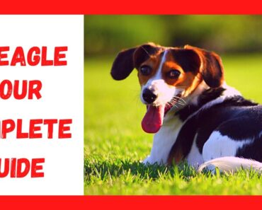 Beagle Chihuahua Mix(Cheagle): All About This Adorable designer dog