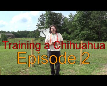 How to train your Chihuahua dog to Come-Sit-& Stay- Episode