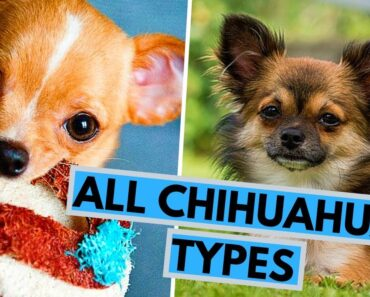 All Chihuahua Types