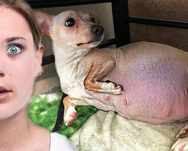 Chihuahua Gave Birth To Ten Puppies, Then Her Foster Mom