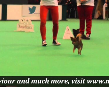 Crufts 2015 Chihuahua Obreedience and Heelwork to Music demo