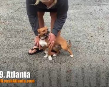 """8 Month Old Corgi/Chihuahua Mix """"Bubba"""" Before/After Video"""