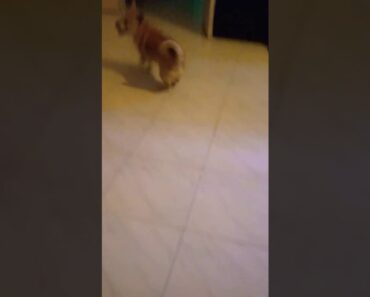 Naughty Chihuahua lasa cross wants to play