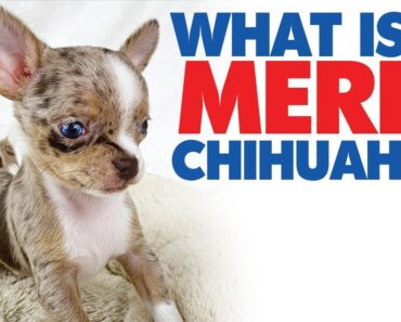 A merle Chihuahua with blue eyes!