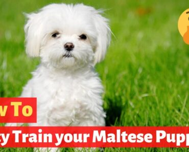 How to Potty Train your Maltese puppy? Super Effective Training