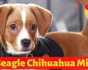 All about the Adorable Beagle Chihuahua Mix (Cheagle)