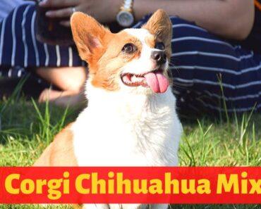 All the Interesting Facts about the Corgi Chihuahua Mix (Chigi)