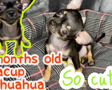 Teacup Chihuahua Puppy