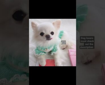 Cute And Funny Chihuahua Dog Videos Compilation -2021 #Shorts
