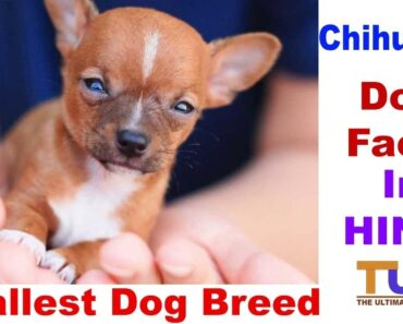 Chihuahua Dog Facts In HINDI : Smallest Dog Breed :