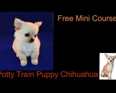 Potty Train Puppy Chihuahua **WOW** Free course to Potty Train