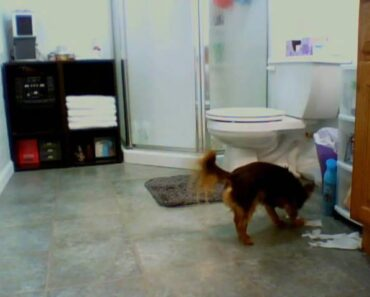 Naughty Chihuahua!! Get outta the trash!!