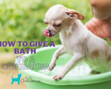 How To Give A Bath To A Chihuahua