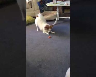 Funny Chihuahua Video