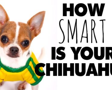 Dog training your Chihuahua? Just how smart are they? |