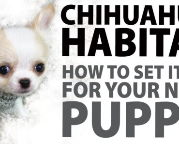 How to set up a Chihuahua habitat for your new