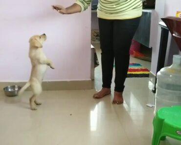 Labrador puppy training/ Labrador puppyes daily routine/lab dog funny video/Labrador